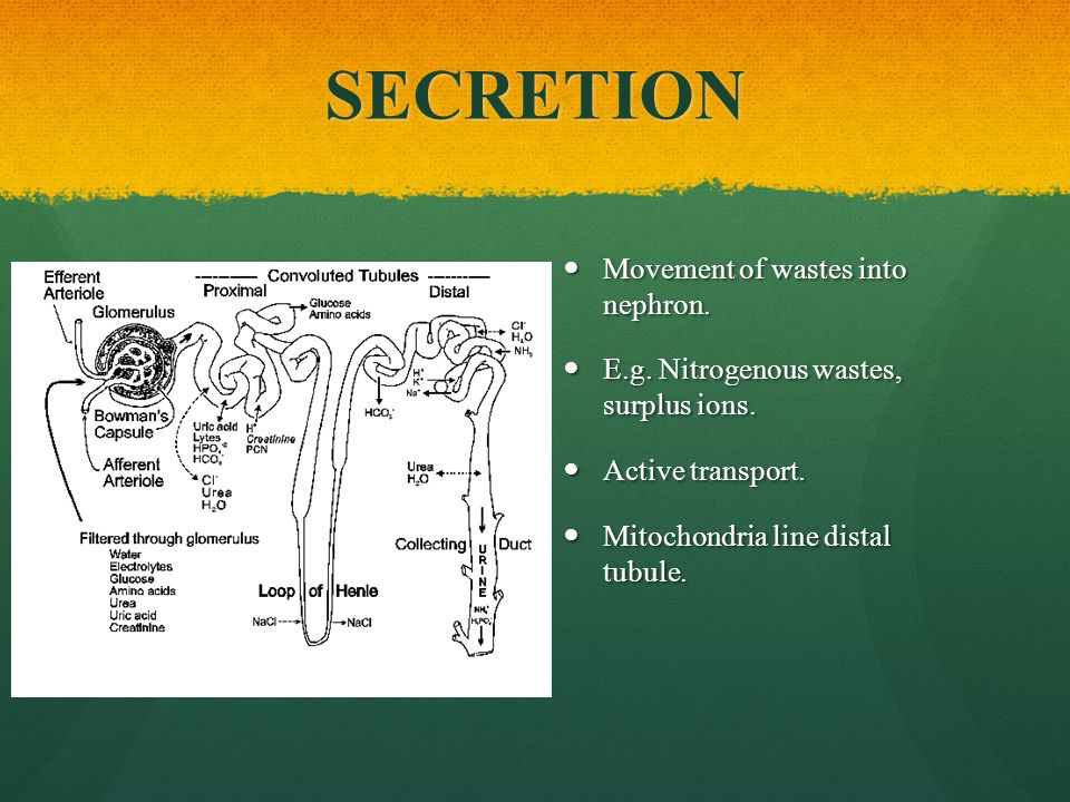 SECRETION Movement of wastes into nephron.