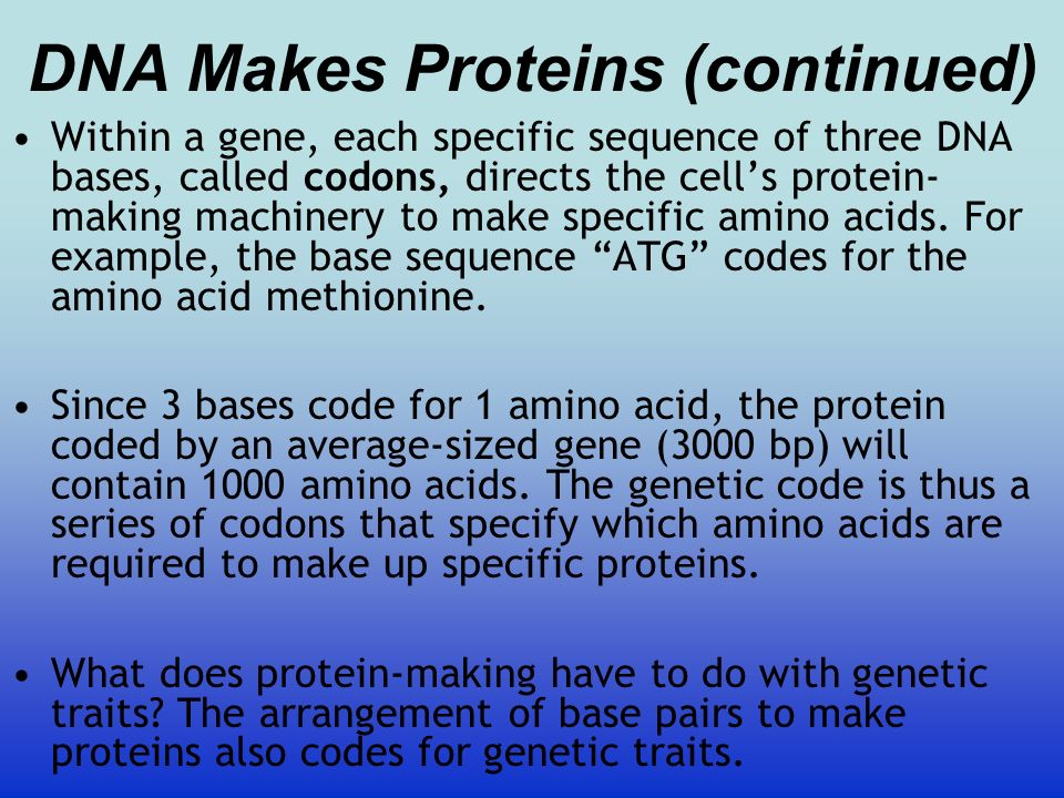 DNA Makes Proteins (continued)
