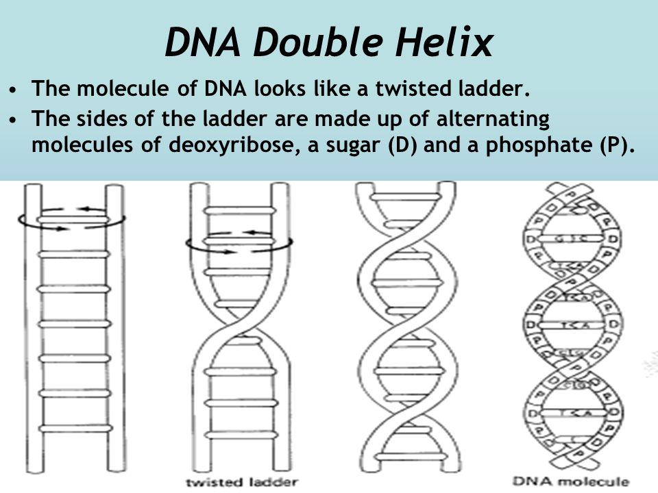DNA Double Helix The molecule of DNA looks like a twisted ladder.