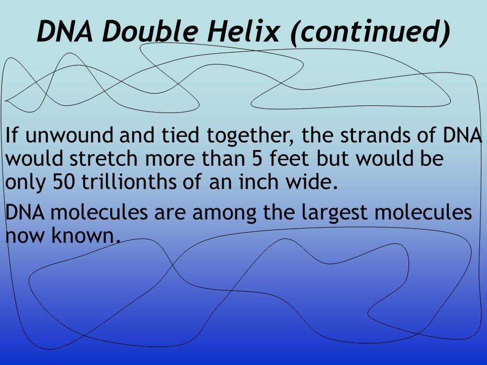 DNA Double Helix (continued)
