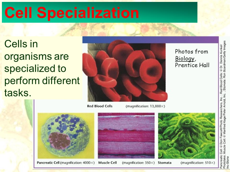 Cell Specialization Cells in organisms are specialized to perform different tasks. Photos from Biology, Prentice Hall.