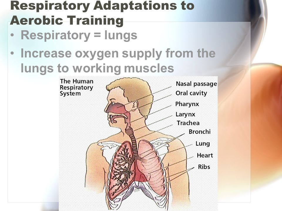 Respiratory Adaptations to Aerobic Training