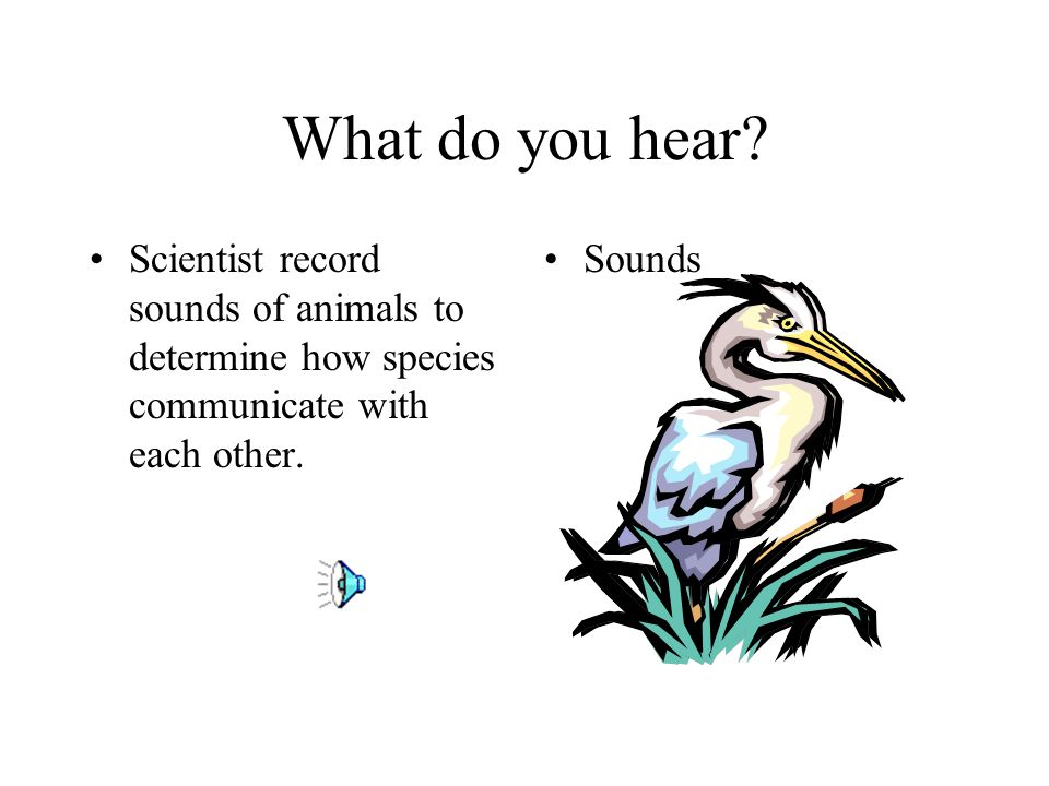 What do you hear Scientist record sounds of animals to determine how species communicate with each other.