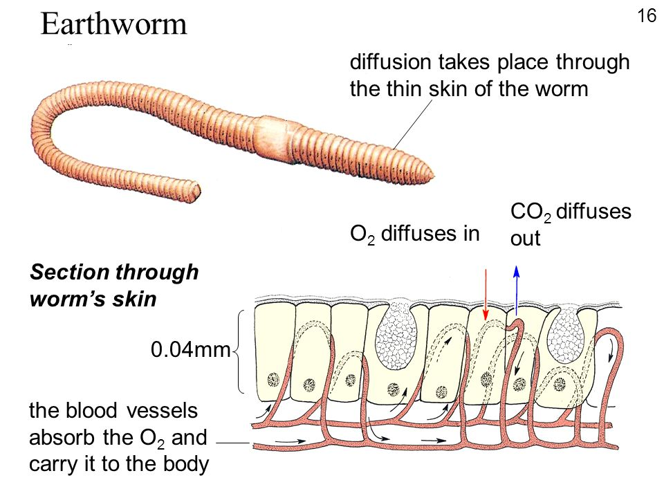 Earthworm diffusion takes place through the thin skin of the worm