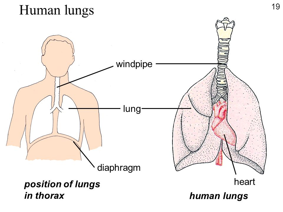 Human lungs windpipe lung diaphragm heart position of lungs in thorax