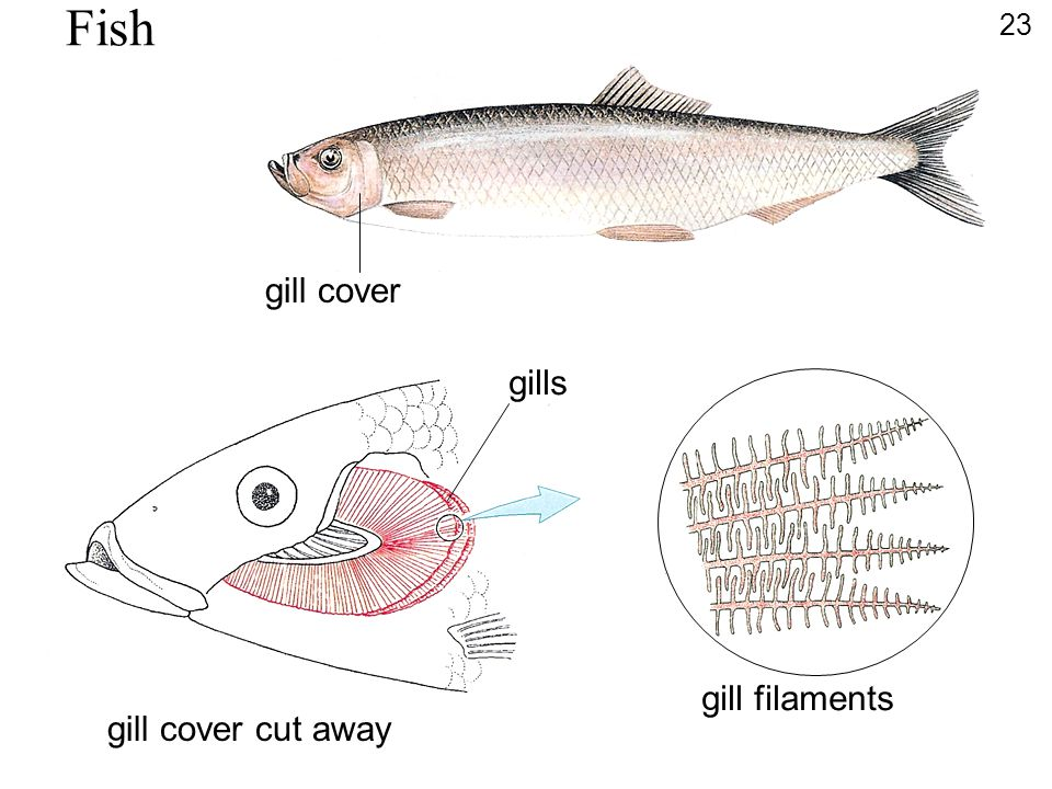 Fish gill cover gills gill filaments gill cover cut away 23