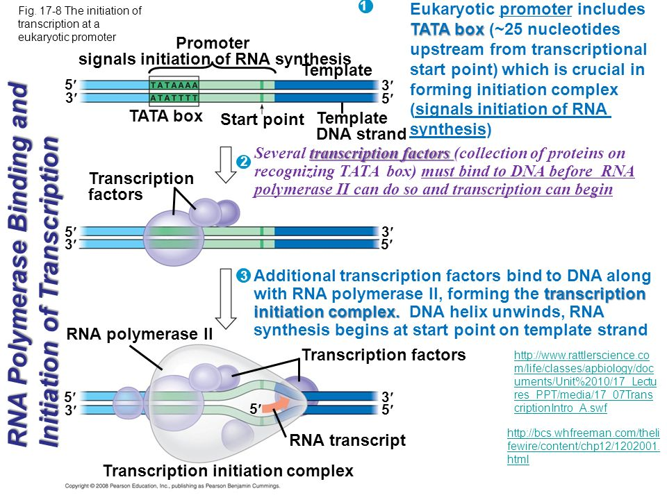 signals initiation of RNA synthesis