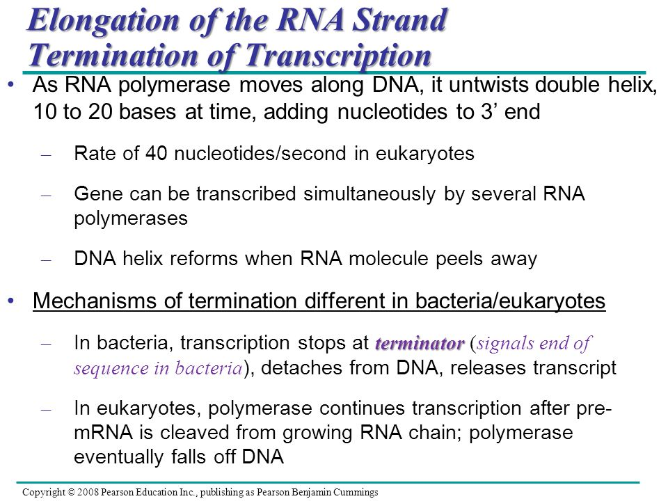 Elongation of the RNA Strand Termination of Transcription
