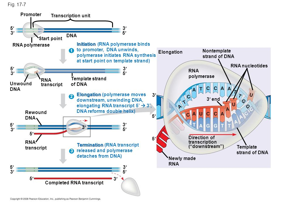 Initiation (RNA polymerase binds to promoter, DNA unwinds,