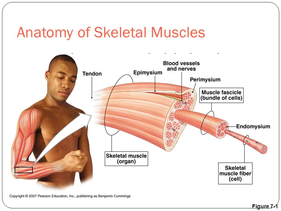 The Muscular System Chapter 7 - ppt download