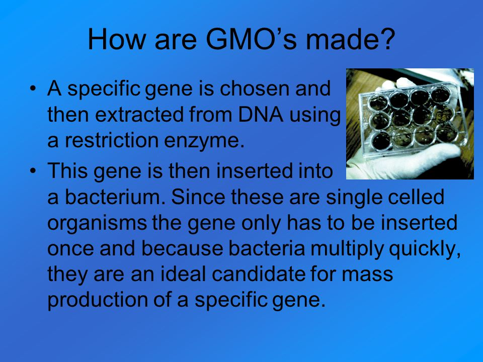 How are GMO's made A specific gene is chosen and then extracted from DNA using a restriction enzyme.