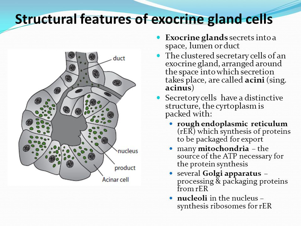 Structural features of exocrine gland cells