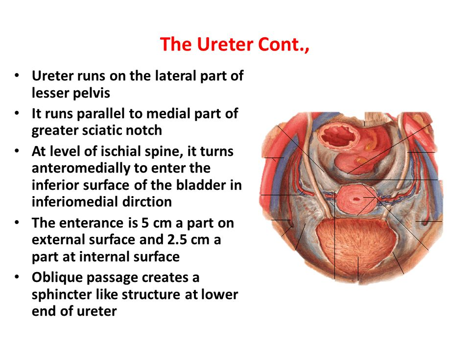 The Ureter Cont., Ureter runs on the lateral part of lesser pelvis