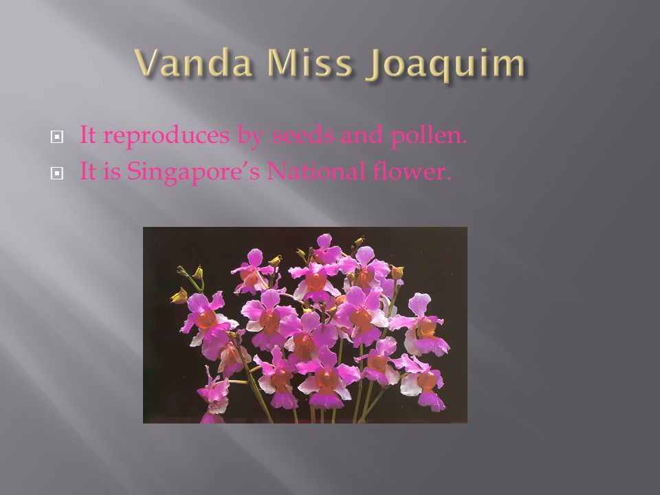 Vanda Miss Joaquim It reproduces by seeds and pollen.