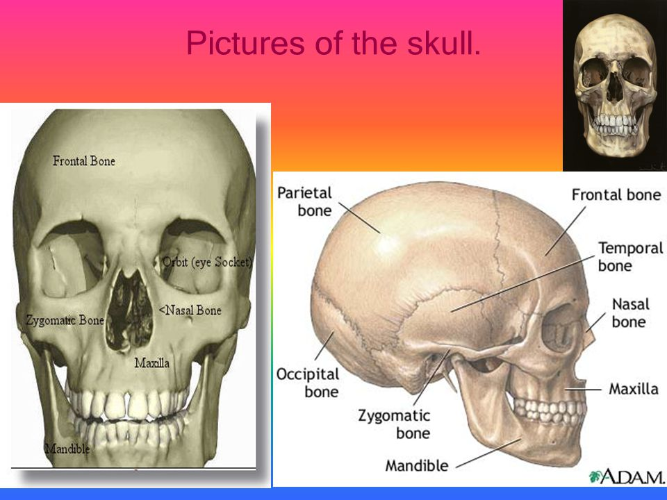 Pictures of the skull.