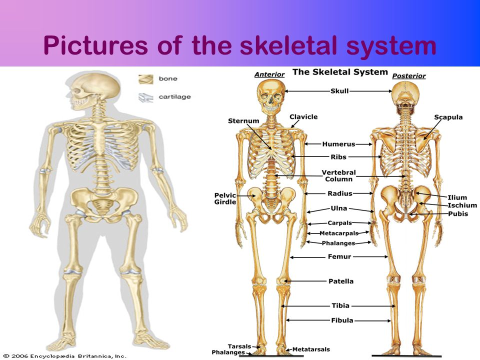 Pictures of the skeletal system