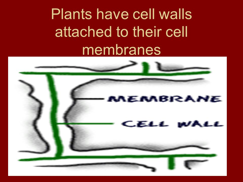 Plants have cell walls attached to their cell membranes