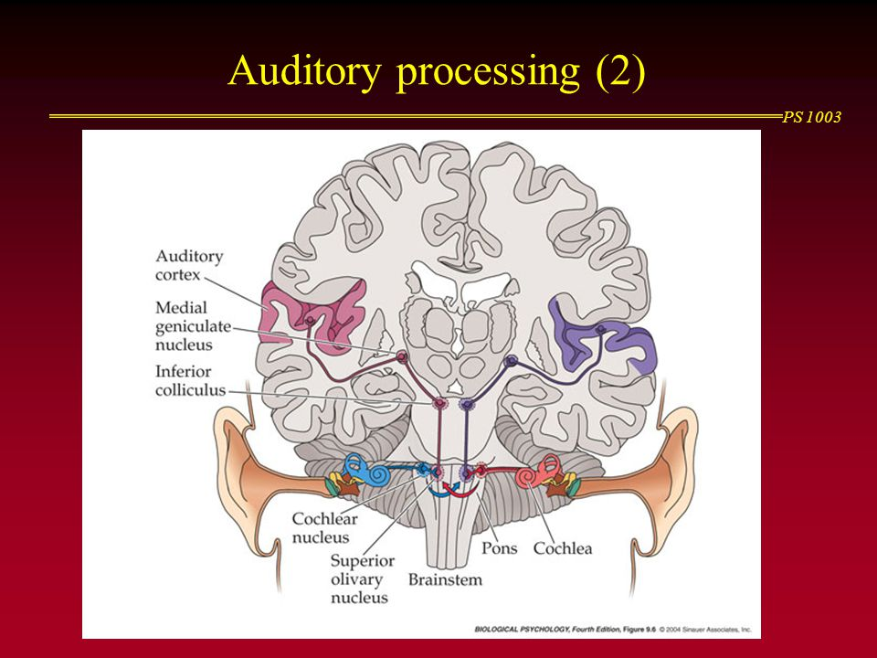 Auditory processing (2)