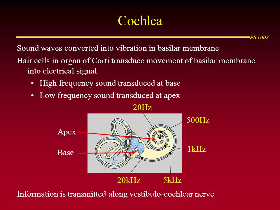 Cochlea Sound waves converted into vibration in basilar membrane