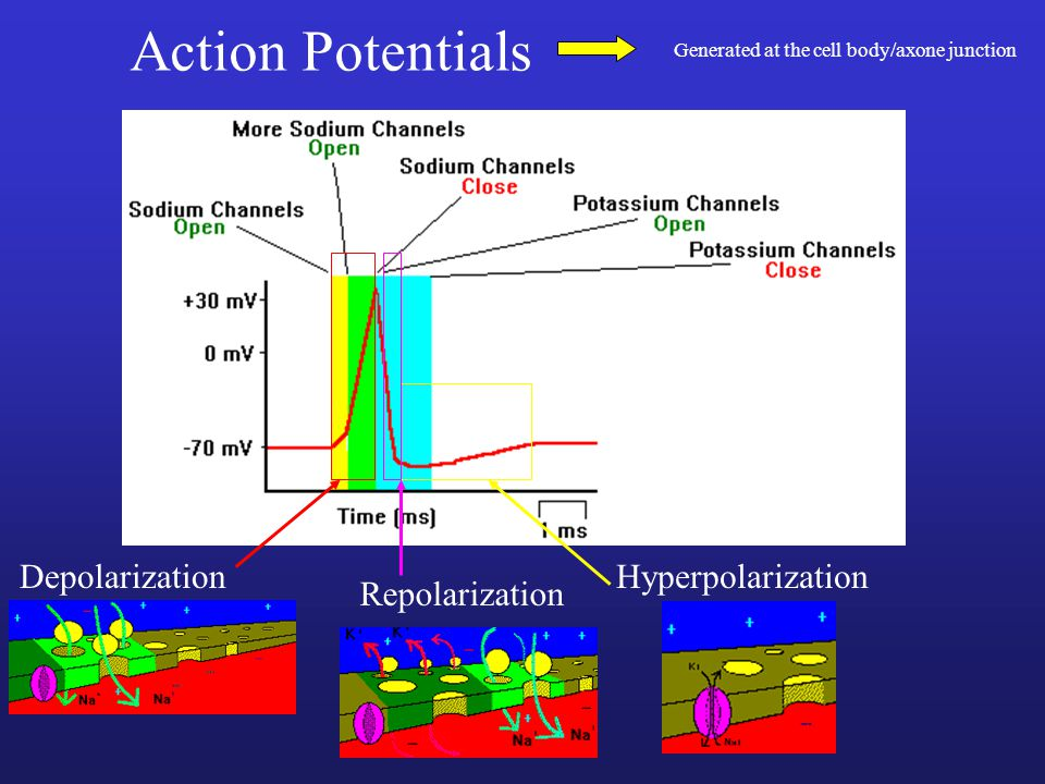 Action Potentials Depolarization Hyperpolarization Repolarization