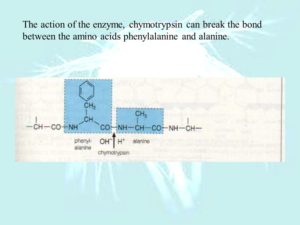 The action of the enzyme, chymotrypsin can break the bond
