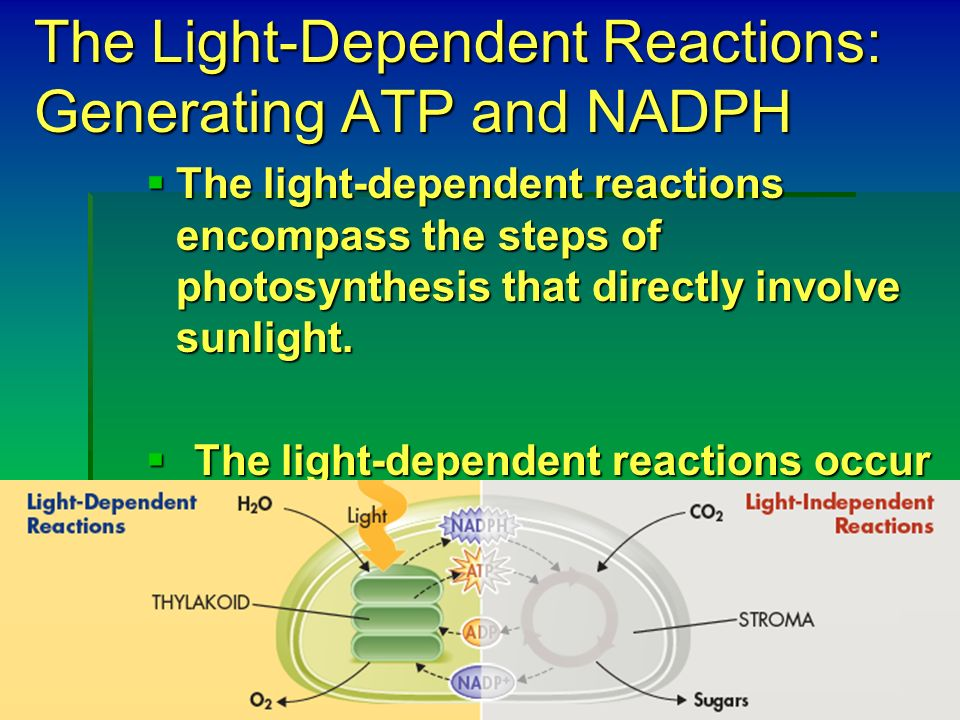 The Light-Dependent Reactions: Generating ATP and NADPH