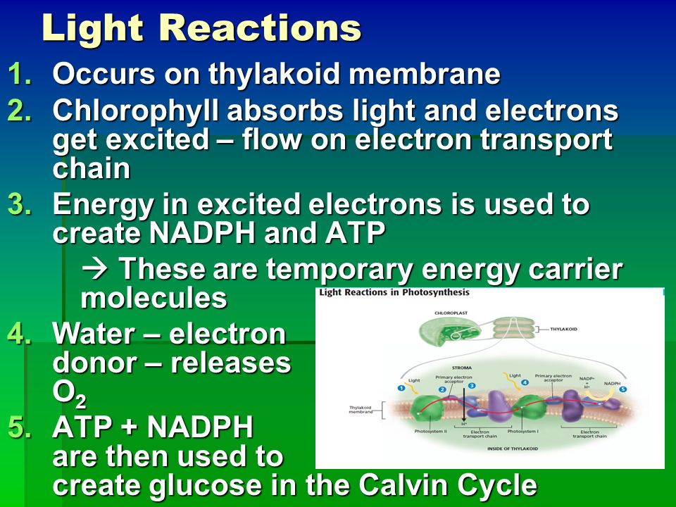Light Reactions Occurs on thylakoid membrane