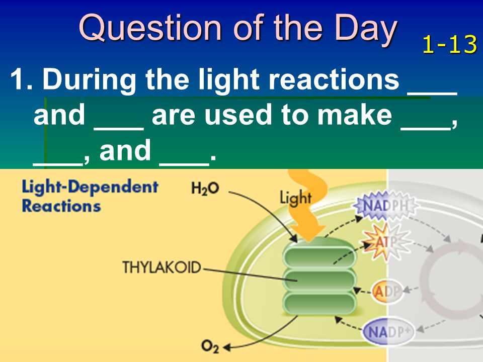 Question of the Day 1-13 During the light reactions ___ and ___ are used to make ___, ___, and ___.