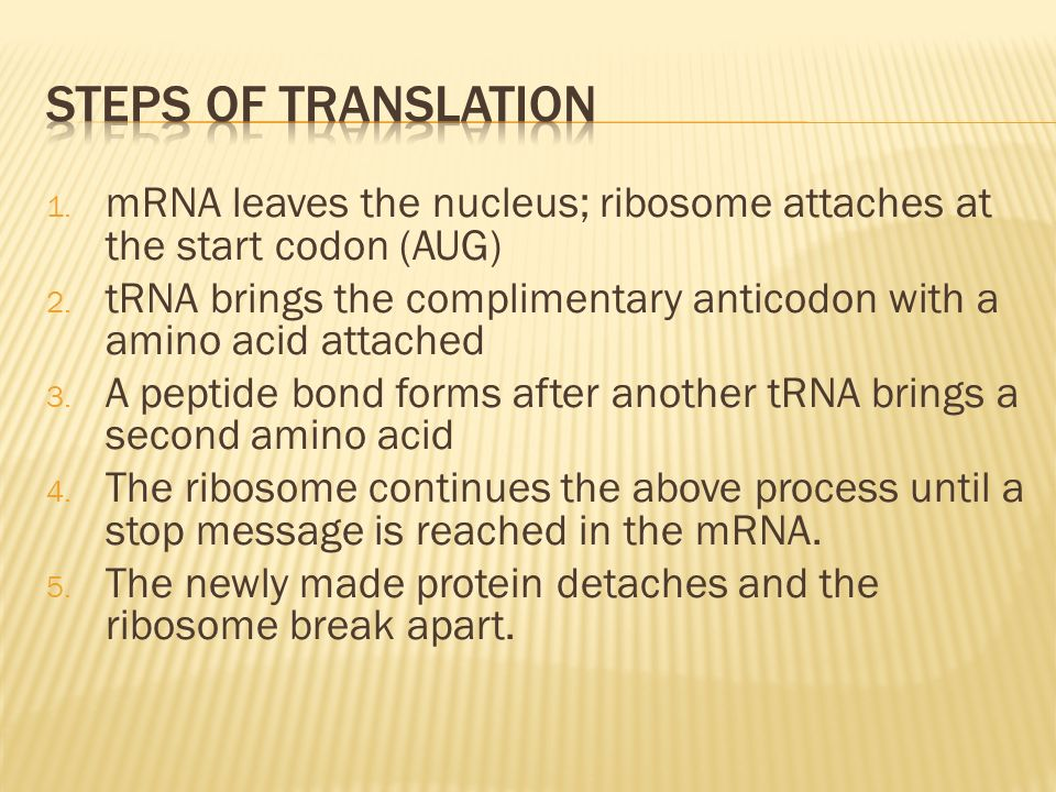 Steps of translation mRNA leaves the nucleus; ribosome attaches at the start codon (AUG)