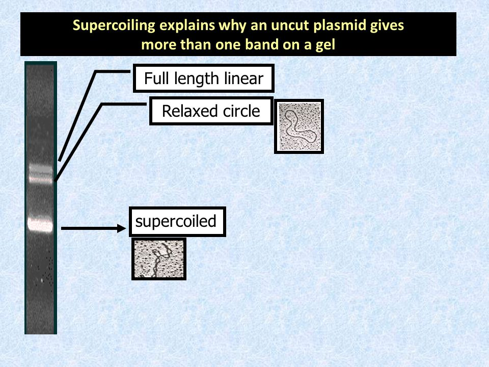 Supercoiling explains why an uncut plasmid gives
