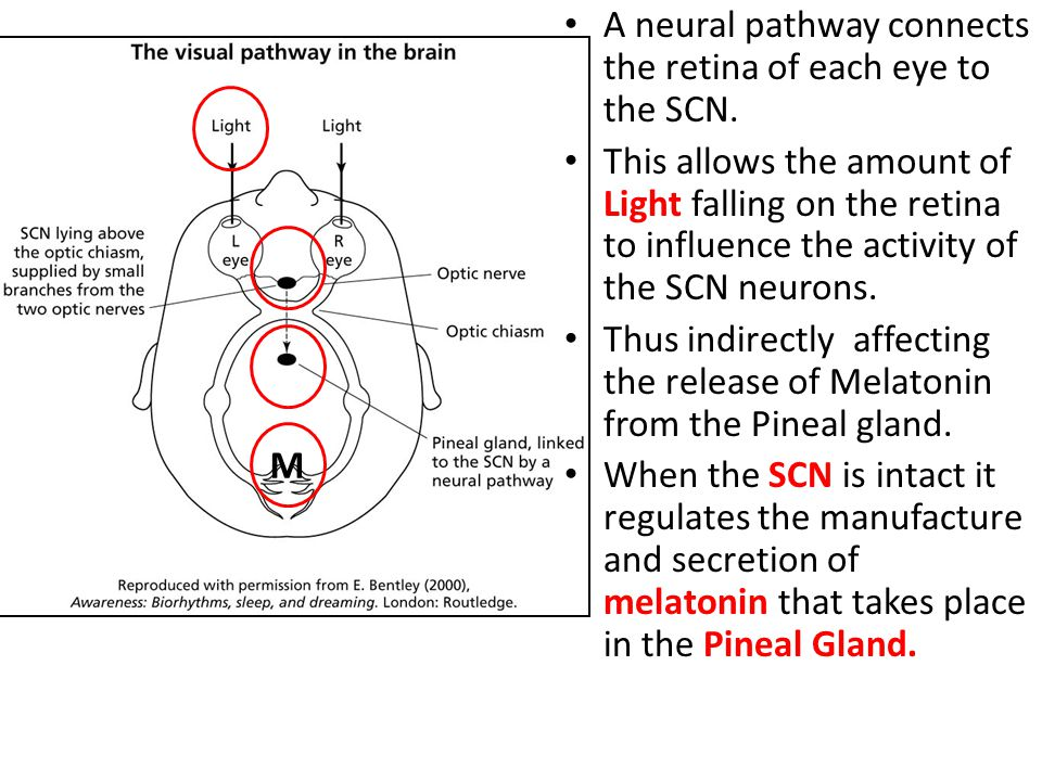 M A neural pathway connects the retina of each eye to the SCN.