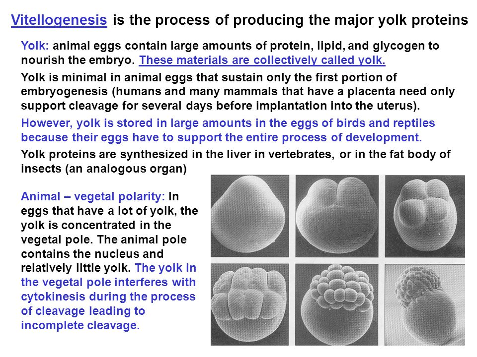 Vitellogenesis is the process of producing the major yolk proteins