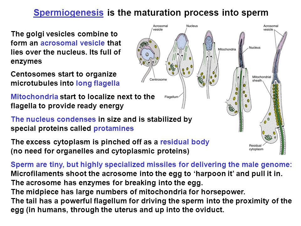 Spermiogenesis is the maturation process into sperm