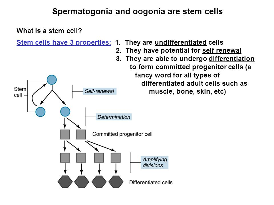 Spermatogonia and oogonia are stem cells