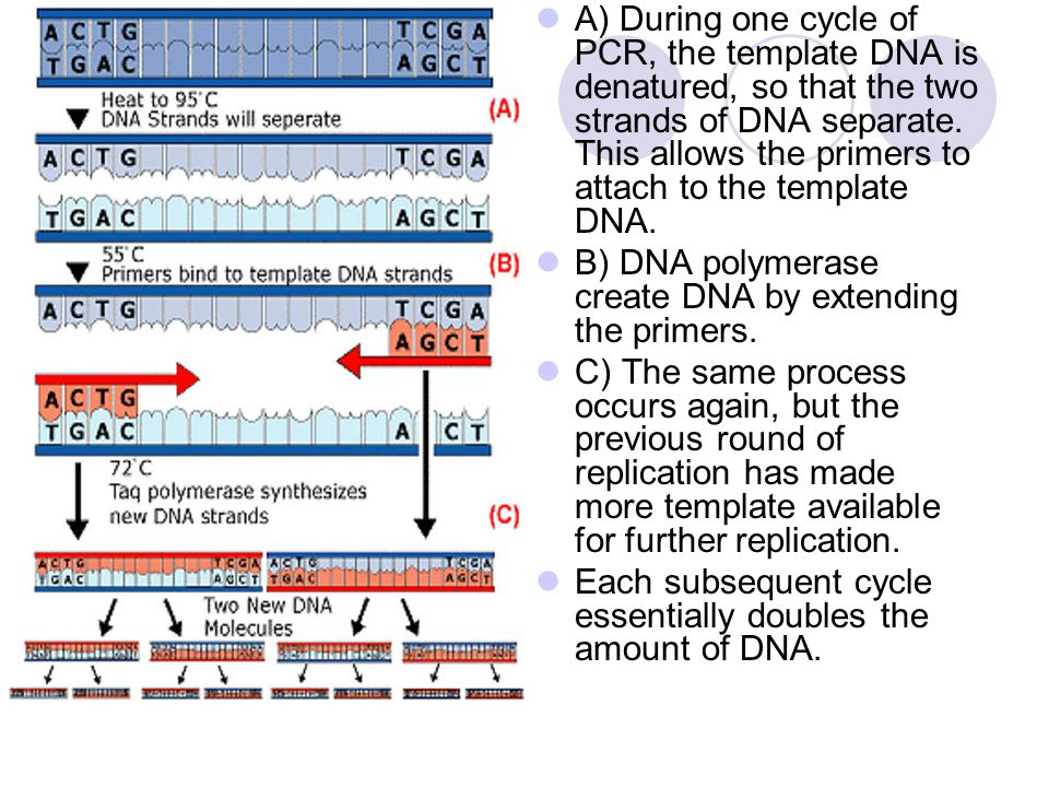 A) During one cycle of PCR, the template DNA is denatured, so that the two strands of DNA separate. This allows the primers to attach to the template DNA.