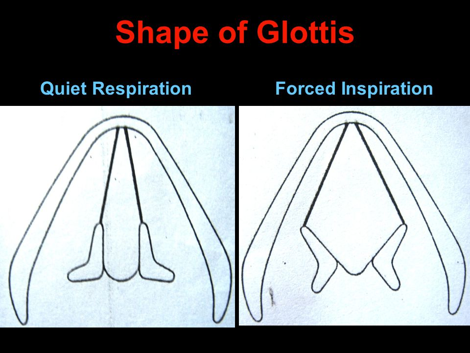 Shape of Glottis Quiet Respiration Forced Inspiration