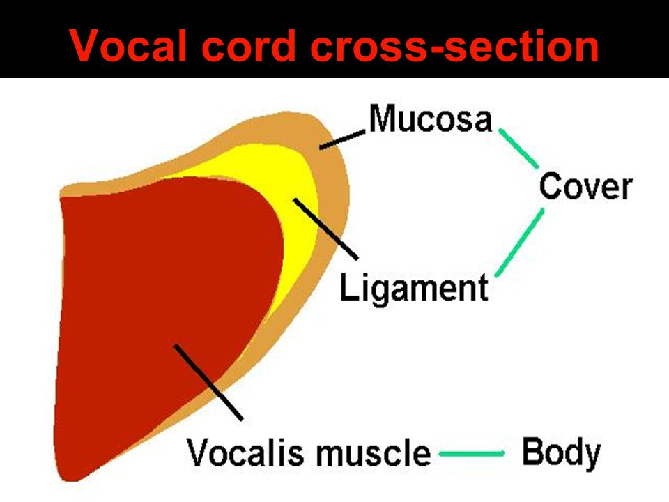 Vocal cord cross-section