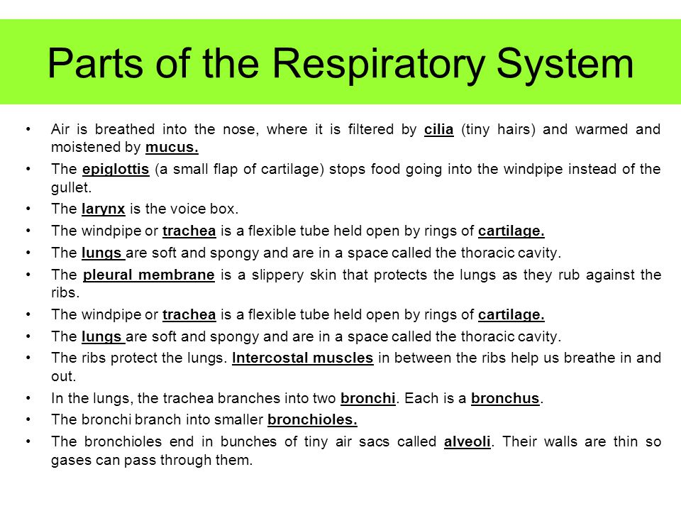 Parts of the Respiratory System