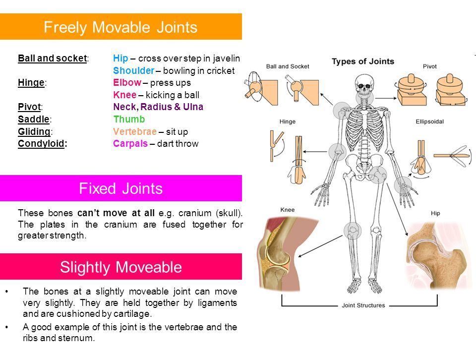 Freely Movable Joints Fixed Joints Slightly Moveable