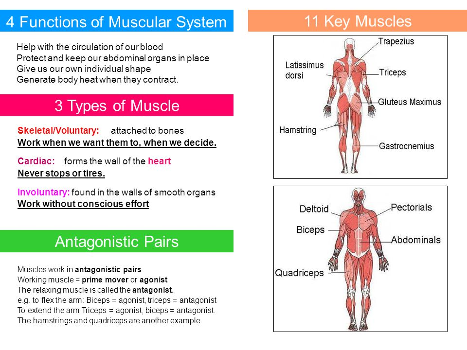 4 Functions of Muscular System