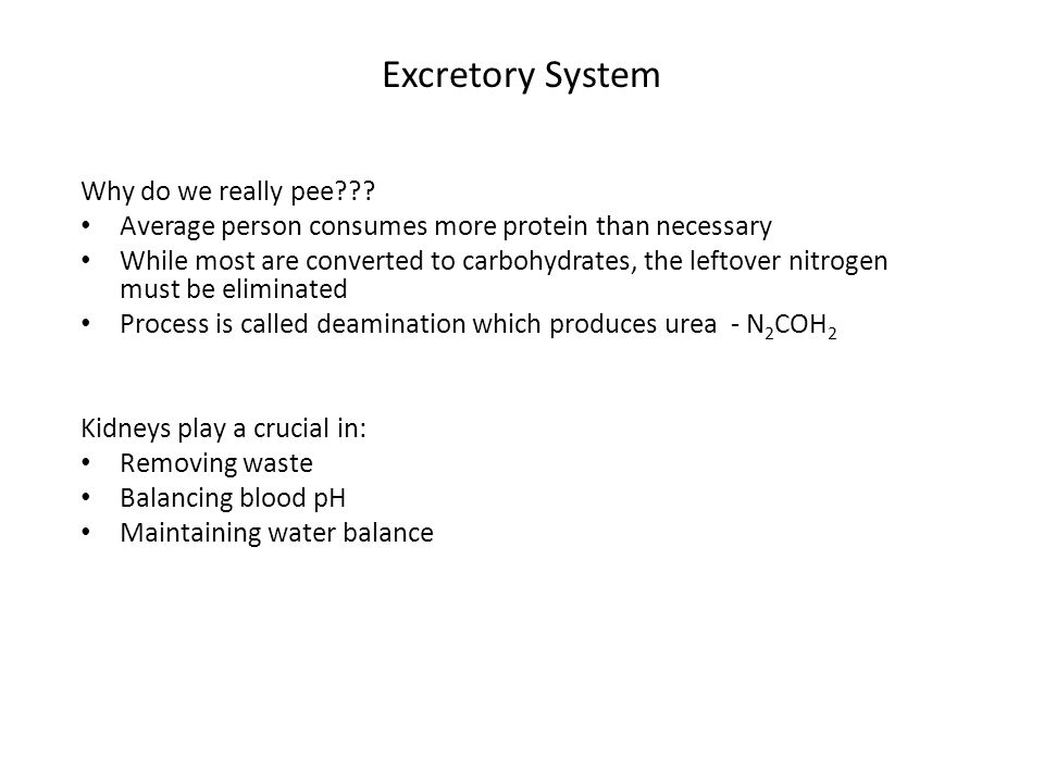 Excretory System Why do we really pee
