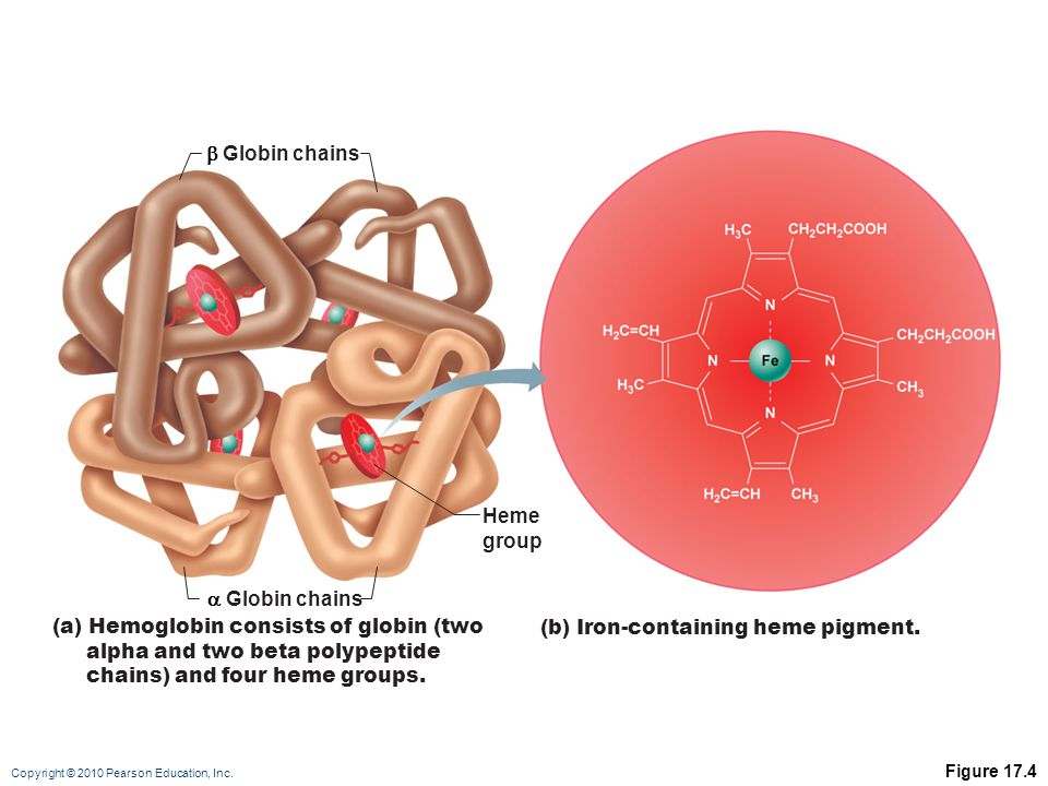 (a) Hemoglobin consists of globin (two alpha and two beta polypeptide