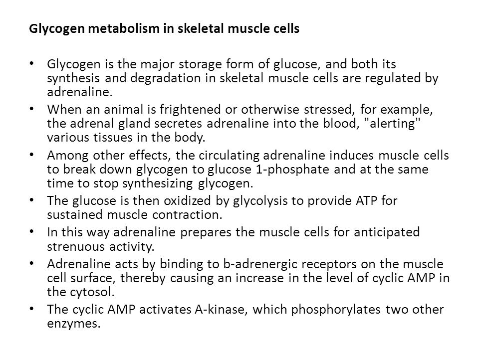 Glycogen metabolism in skeletal muscle cells
