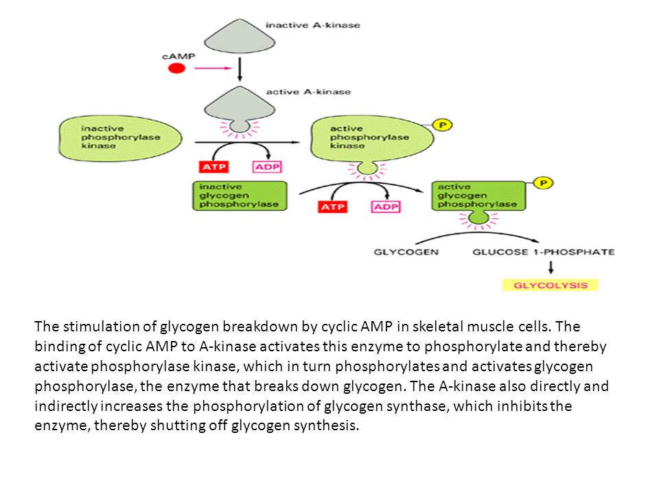 The stimulation of glycogen breakdown by cyclic AMP in skeletal muscle cells. The