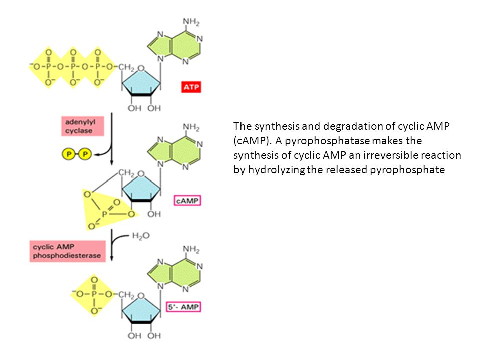 The synthesis and degradation of cyclic AMP (cAMP)