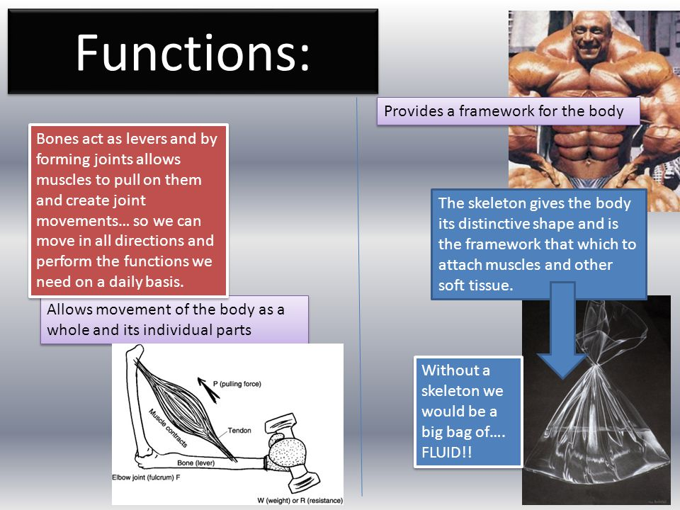 Functions: Provides a framework for the body