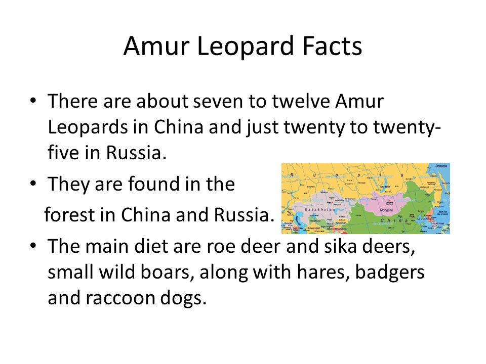 Amur Leopard Facts There are about seven to twelve Amur Leopards in China and just twenty to twenty-five in Russia.