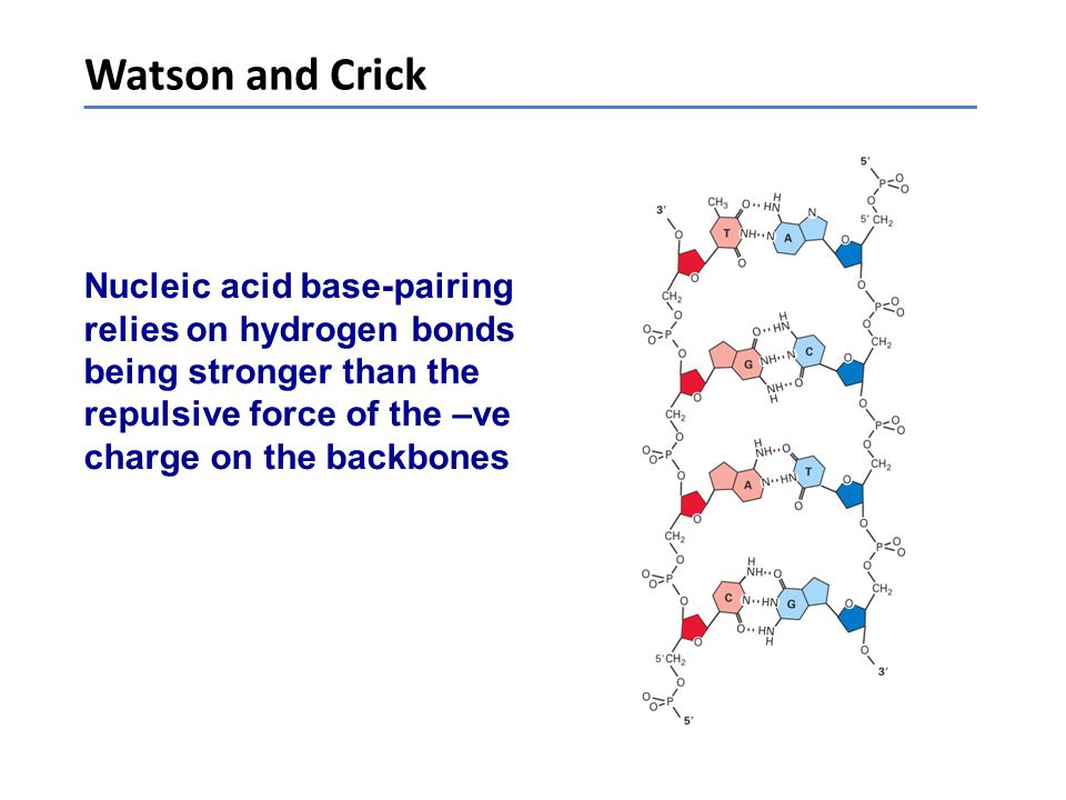 Watson and Crick Nucleic acid base-pairing relies on hydrogen bonds being stronger than the repulsive force of the –ve charge on the backbones.