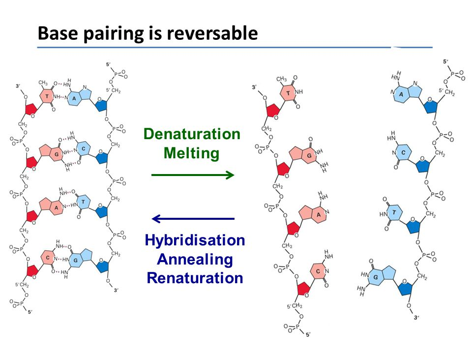 Base pairing is reversable
