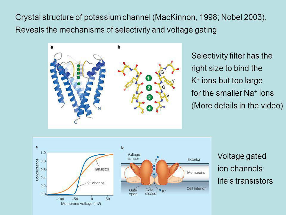 Crystal structure of potassium channel (MacKinnon, 1998; Nobel 2003)